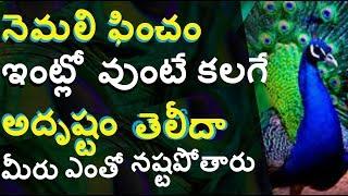 నెమలి పించం ఇంట్లో ఉంటే ఏం జరుగుతుందో తెలియకపోతే మీరే నష్టపోతారు!    About Peacock Feather in telugu