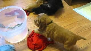 It's Mine! - Sweet English Cocker Spaniel Puppy