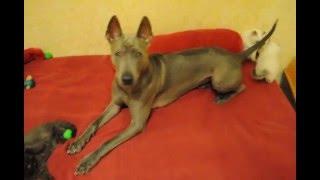 Британские котята шоколадные и шоколад поинт атаковали собаку Тайского риджбека