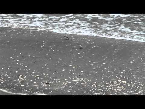 Sanderlings fishing the intertidal zone along Sanibel Island Florida