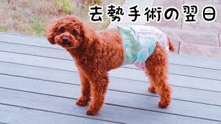 去勢手術から一日経ちました。トイプードルのTaruto&Rasuku thumbnail