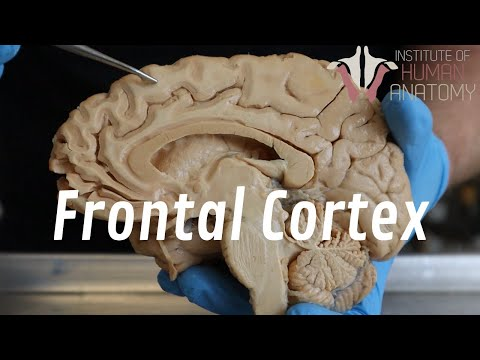 Why Teenagers Are So Impulsive | The Anatomy of the Frontal Cortex