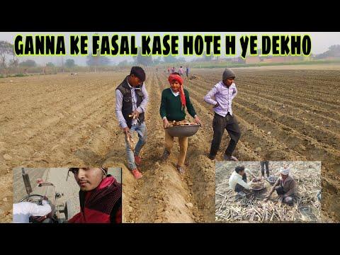 Pvr Parv Uploaded | गन्ना के फसल कैसे होती हैं ये देखो और अर्बी की .....