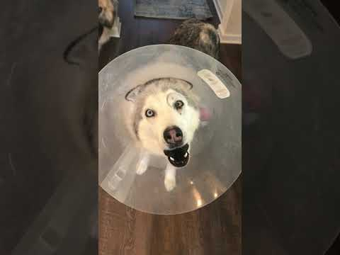Stubborn Husky Protests Cone