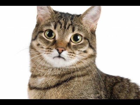 Top 10 Domestic Cat Breeds in The World