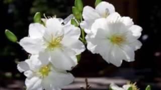 Karaoke Chuyện tình hoa mai trắng