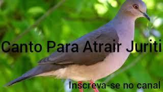Download Mp3 Canto Para Atrair Juriti 💥🐦💥💥