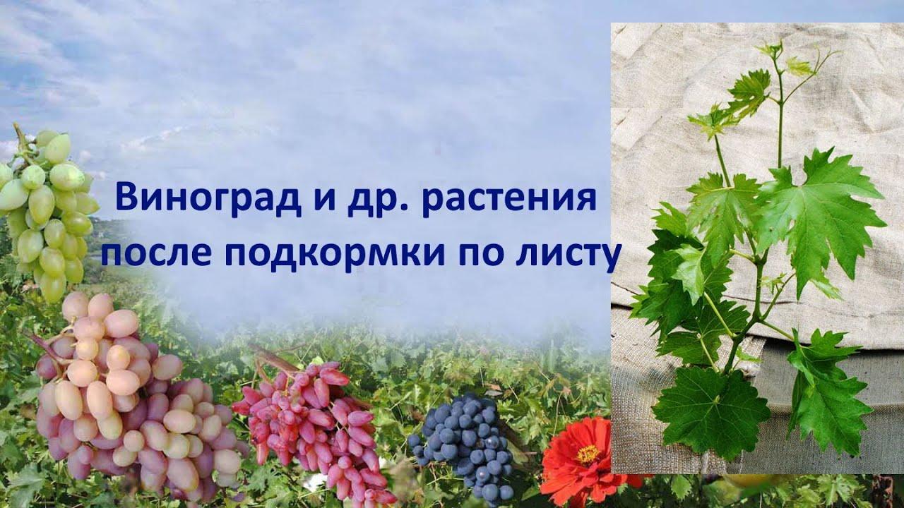 Виноград и др  растения после подкормки по листу
