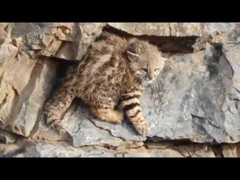 Sorpresa en el norte neuquino por la presencia de un gato andino con sus crías