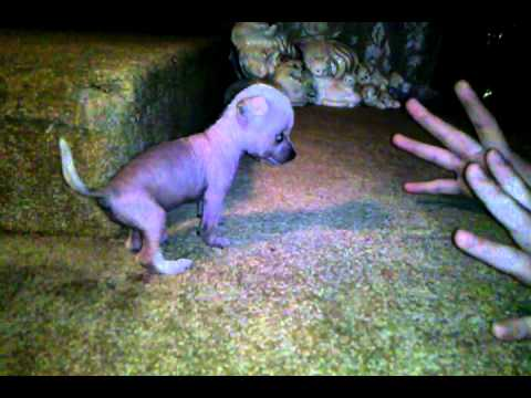 Hairless Chihuahua 1 Month Old Barking