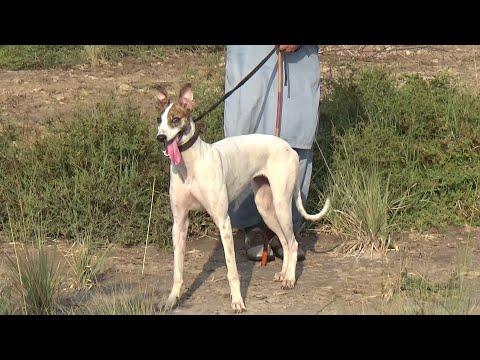 beautiful dogs | Irish greyhound | hunting dogs | greyhound in Pakistan