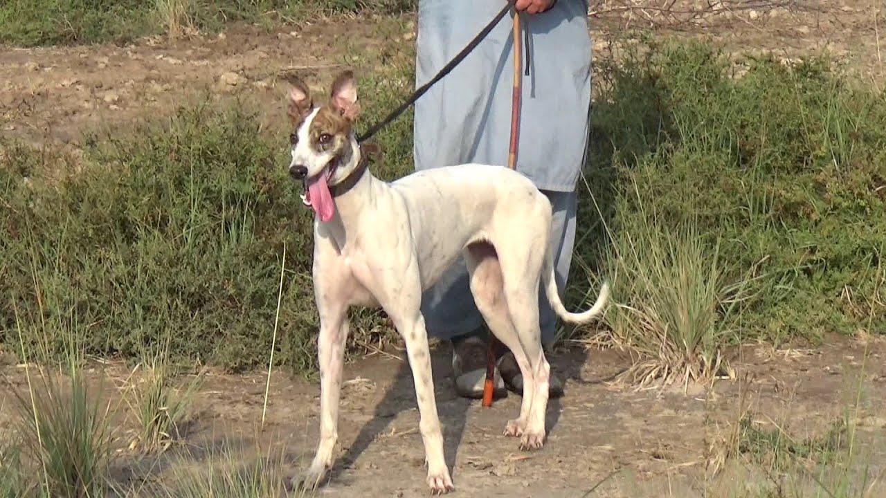 Beautiful Dogs Irish Greyhound Hunting Dogs Greyhound In Pakistan Youtube