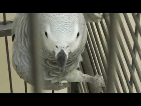 Попугай Жако в неволе (голос знаком всем вледельцам смартфонов Samsung) [Psittacus erithacus]