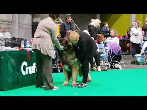 Highlights of the Leonbergers at Crufts 2019