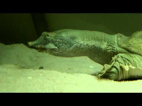 Pelodiscus Sinensis eating c..