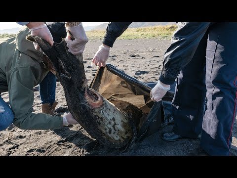 Губернатор Камчатского края рассказал о последствиях загрязнения океана