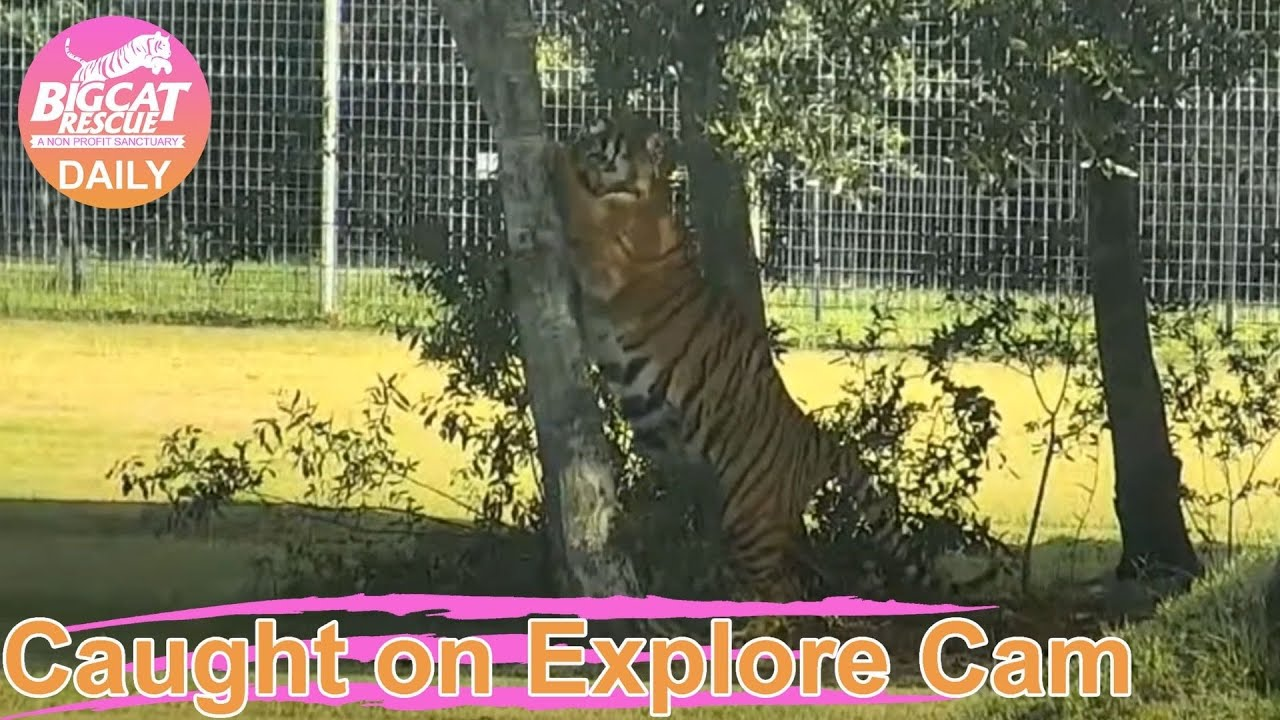 I love them all! Big trees and small trees. Simba tiger at Big Cat Rescue.