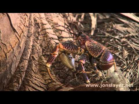 Diego Garcia Coconut Crab Red