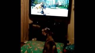 Dexter The Miniature Schnauzer Barking At Dogs On Tv