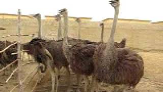 Ostrich farm in karachi