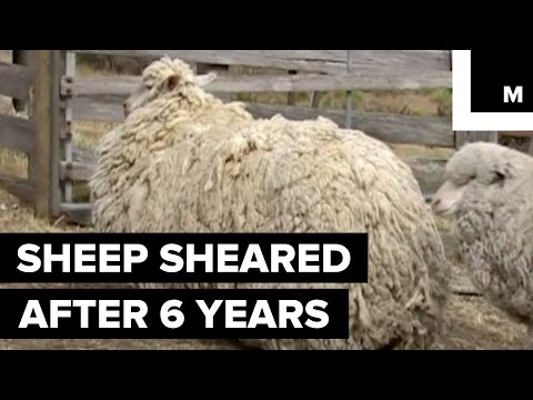 Sheep Finally Sheared After 6 Years of Being Lost in the Wilderness