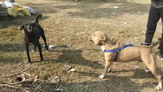 #Desi vs pitbull in Punjab