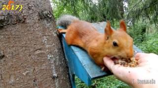 Кузенька - неунывайка (геройський белк в парку ''Зелений острів'')