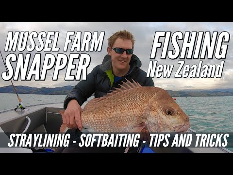 Mussel Farm Snapper Fishing New Zealand - Straylining, Softbaiting, Tips And Tricks