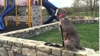 Weimaraner Shows Off Her Off Leash Obedience With Off Leash K9 Training, Maryland