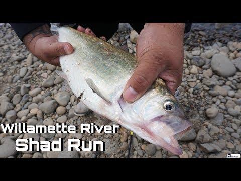 Willamette River Shad Run 2019 | Willamette River Shad Fishing