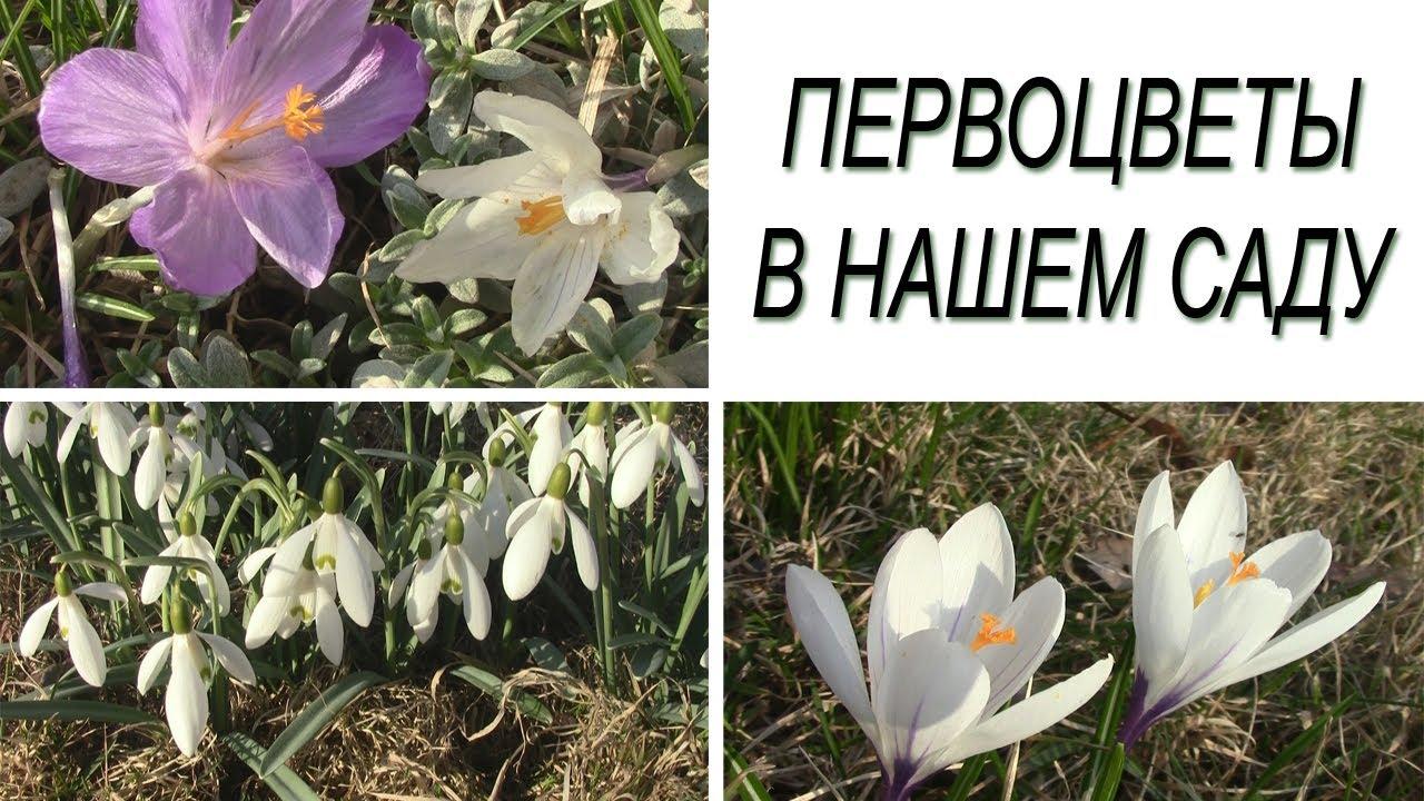 Весенние цветы. Первоцветы в нашем саду. - YouTube