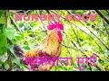 Hungry Cock at shenve(घुस्से वाला मुर्गा शेणवा में)