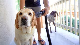 Grooming my Labrador vs my German Shorthaired Pointer