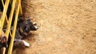 Repeat youtube video cowdogs border collie cliff perro vaquero rodeo