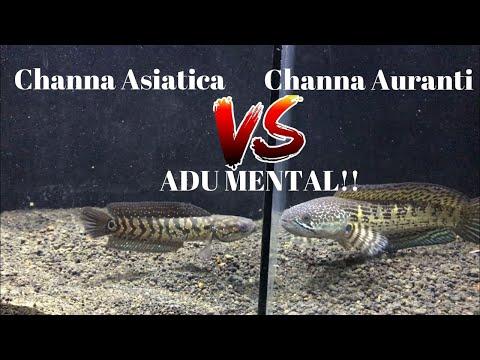 #36 Channa Asiatica