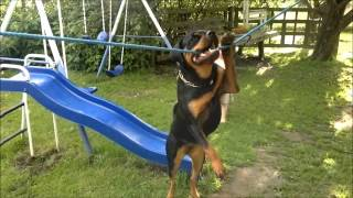 Rottweiler Having Fun