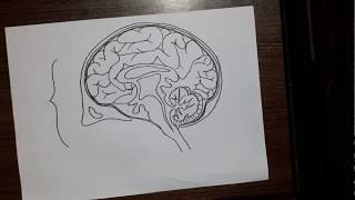 How to draw human brain