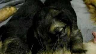 German Shepherd Pups Suckling