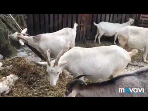 Вопрос: За сколько долларов можно купить дойную козу в лето 2020 г?