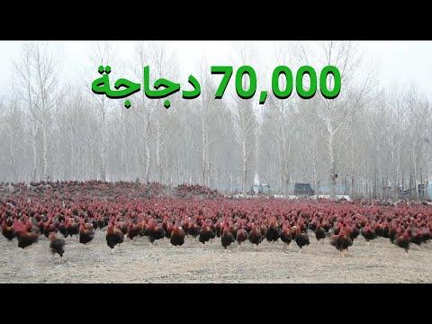 مزارع صيني أصبح من المشاهير على الإنترنت بسبب عدد الدجاجات التى يمتلكها  - 14:51-2020 / 8 / 10