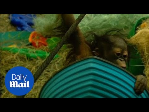 Meet Tuah: Utah's Five-month-old Baby Orangutan! - Daily Mail