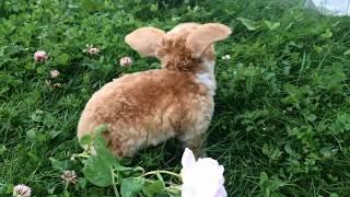 Карликовый кролик рекс - первая прогулка. Питомник Зайкина усадьба