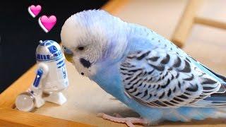R2-D2大好きインコ マスターピピ(生後6ヶ月...