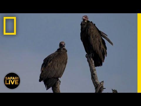 Safari Live - Day 129   National Geographic