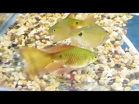 Rosy Barb Compatible Tank Mates - What Fish Can You Have With Rosy Barbs