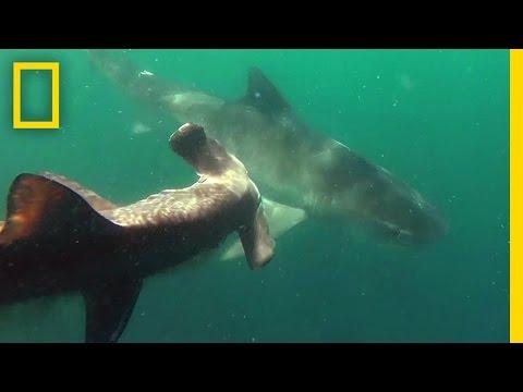 Tiger Shark Vs. Hammerhead Shark | National Geographic