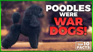Poodle Facts: 10 Interesting Things You Didn't Know