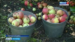 видео Небывалый урожай яблок. Как сделать заготовки к зиме?