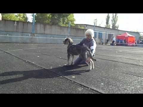 ALTEGOS NEWFOUNDLAND - puppy Giant Schnauzer pepper and salt