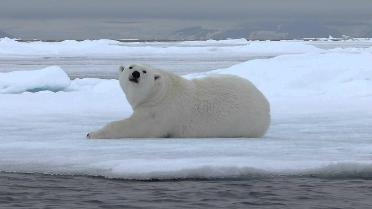 Préférence Un ours polaire marchant et se roulant dans la neige - YouTube OO31